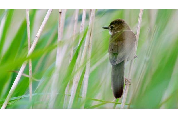 Savi's warbler in the grass