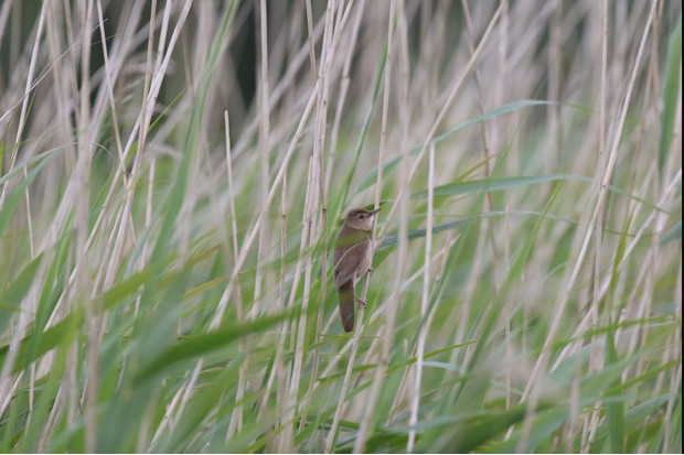 A Savi's warbler in the wetland grass (Photo by: Steve Culley)