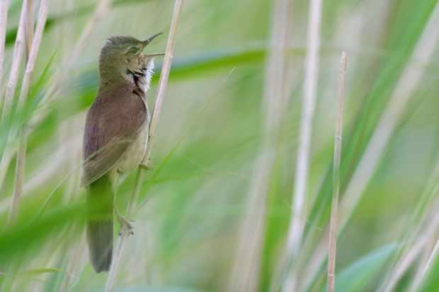 Savi's warbler (Photo by: Martin Jones)
