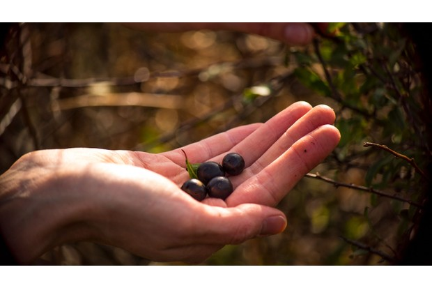 Sloe berries ready for making gin (Photo by: Whistle Video via Getty Images)