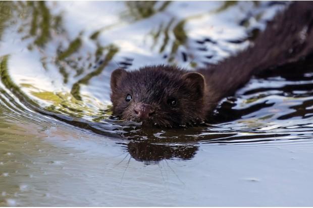 A mink swimming through a river