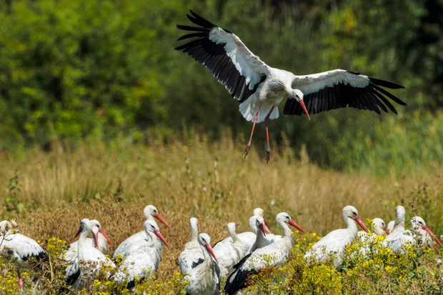 Group of white storks (Photo by: Javier Fernández Sánchez via Getty Images)