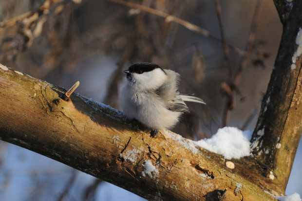 Bird sitting in a snowy tree