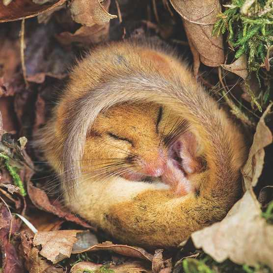 Common or Hazel Dormouse, Muscardinus avellanarius