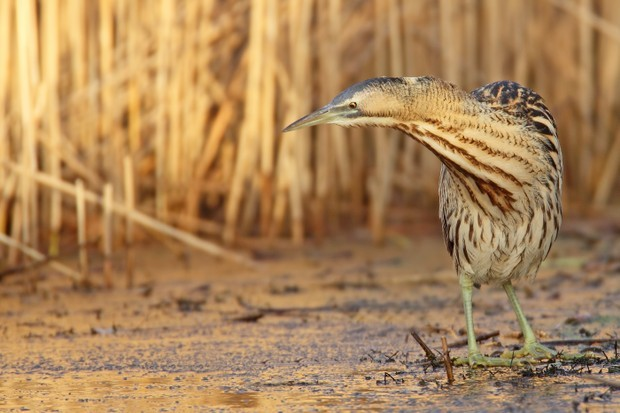 A bittern stands in front of reeds. © Getty