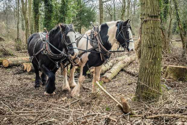 Team of working Cob Horses