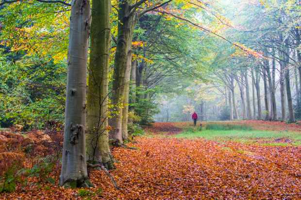 Woman walking her dog in Beech woodland, Fagus sylvatica, in full autumn colour.  Planting is part of the colonnade commemorating fallen soldiers in WW2, Felbrigg, Norfolk, UK.