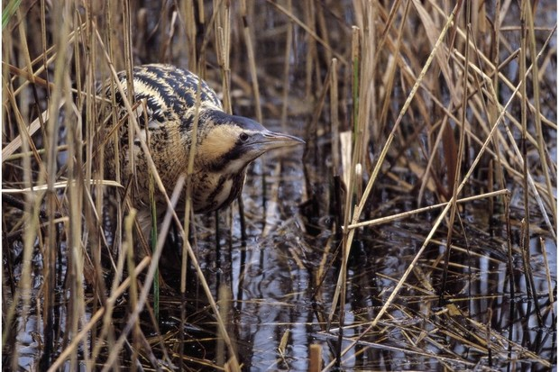 The distinctive booming cry of the male can be heard during spring. © Andy Hay/RSPB