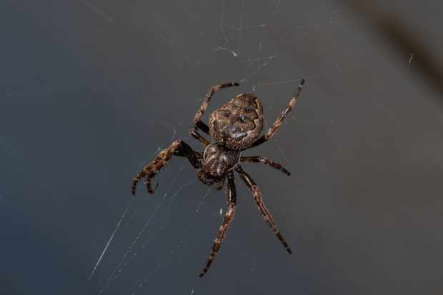 Walnut orb weaver spider