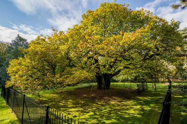 The Allerton Oak stands in Liverpool's Calderstones Park.  ©Jill Jennings/Woodland Trust