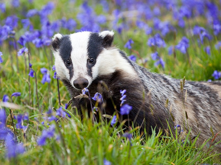 Badger cull could be counterproductive, new study reveals