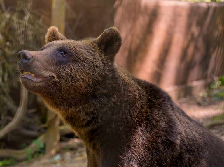 Visit ancient British species – bears, wolves, lynxes and wolverines in Bristol