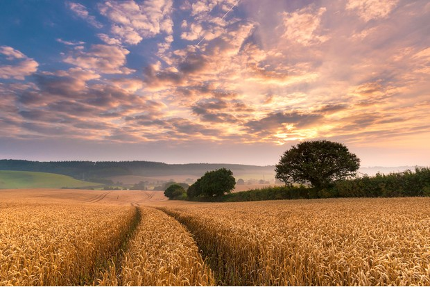 Devonshire wheat fields in Summer, a colourful dawn sky over rolling hills with tractor lines in the wheat snaking off into the distance.