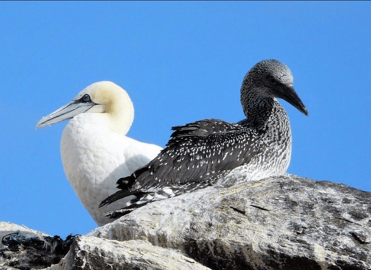 Conservation charity issues appeal to help protect Northern gannets