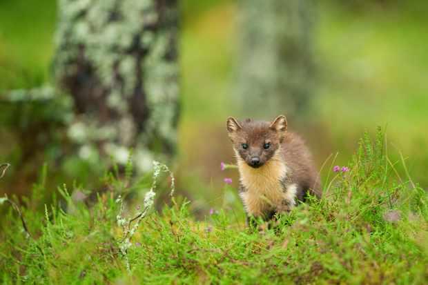 Pine marten in woodlands