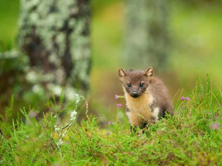 Pine martens reintroduced to Forest of Dean
