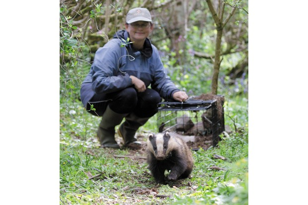 Badger being released from cage by woman