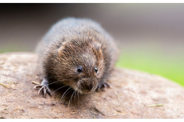 A water vole at Holnicote Estate. These animals are one of the creatures that will benefit from the 'Stage 0' project. ©National Trust