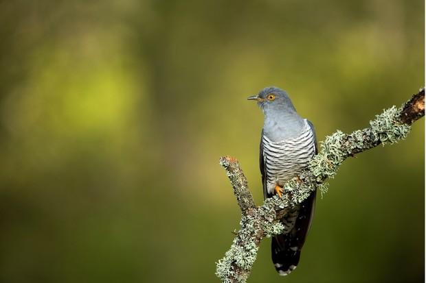 Cuckoo on branch