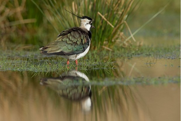 Lapwing near water