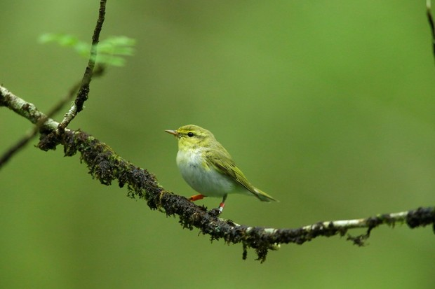 Wood warbler on branch