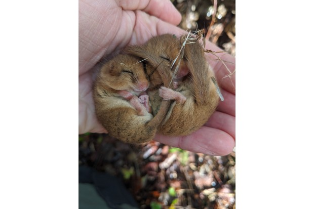 National Trust ranger holds pair of hazel dormice during monthly monitoring check on Cotehele Estate, Cornwall. National Trust George Holmes