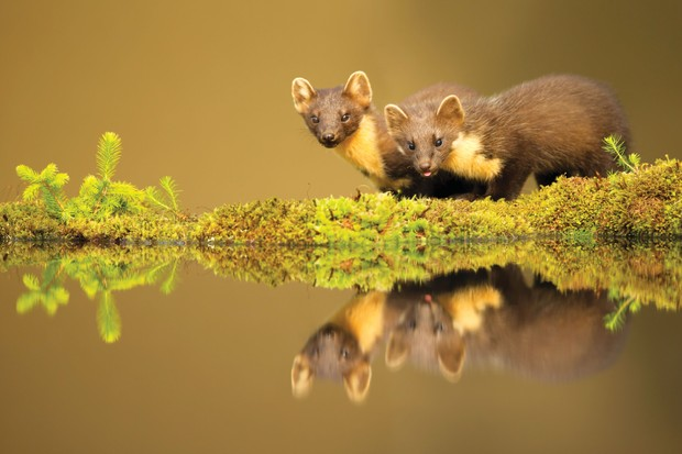 Pine martens at waters edge