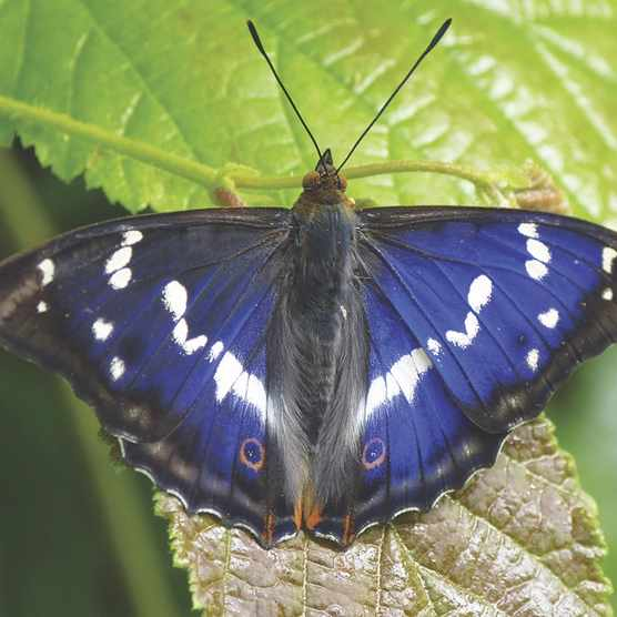 Purple emperor butterfly, male