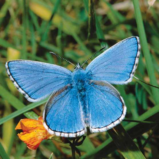 donis blue male butterfly Lysandra bellargus, Getty