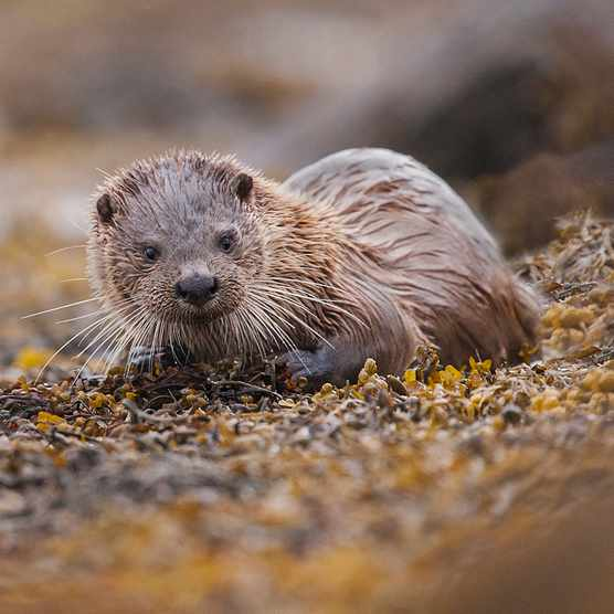 Otter on the coast