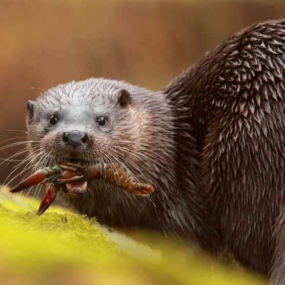 Otter eating a signal crayfish