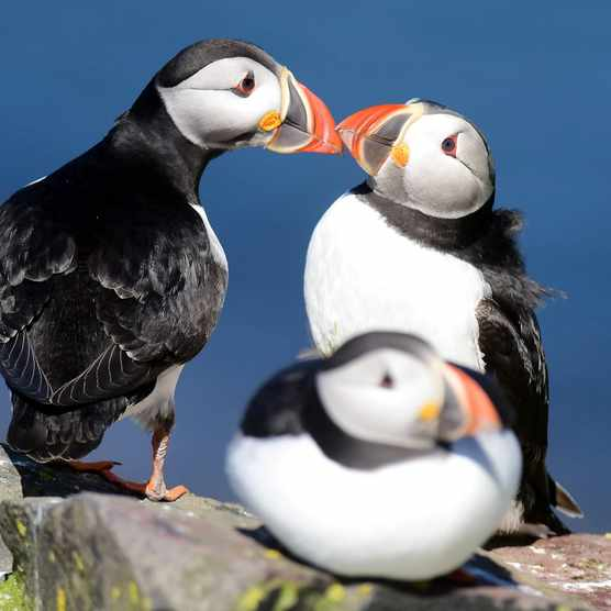 Affectionate puffins on Farne Islands/Credit Paul Kingston and NNP