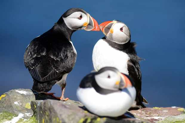 Farne Island puffin numbers remain stable despite heavy rainfall