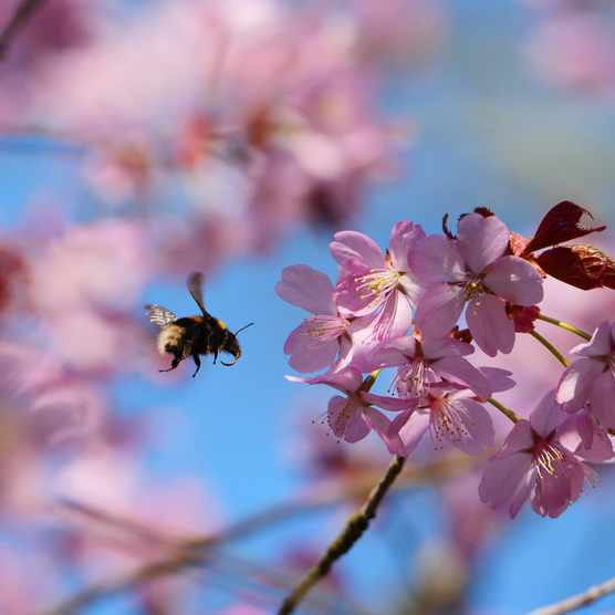 Bumblebee nectaring on pink cherry blossom at Sheringham Park, Norfolk