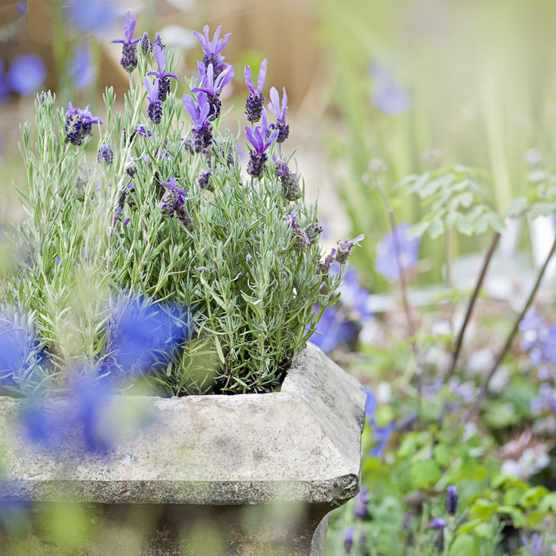 Lavender in a container