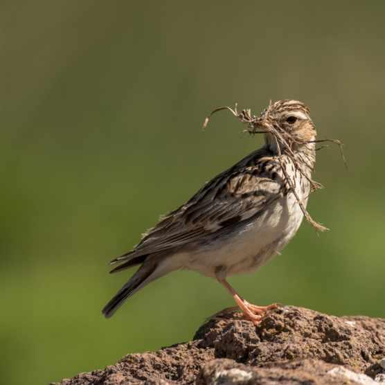 Woodlark (Lullula arborea)
