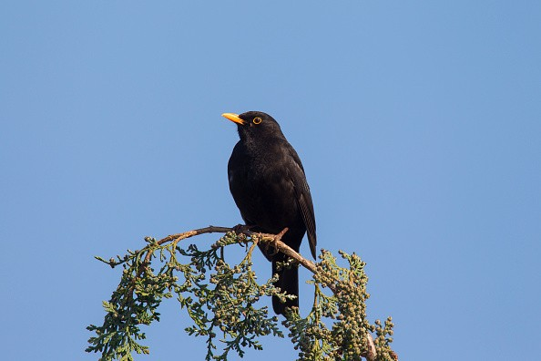Common blackbird male perched in tree.