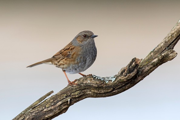 Dunnock / hedge accentor / hedge sparrow / hedge warbler (Prunella modularis) perched in tree. (Photo by: Arterra/Universal Images Group via Getty Images)