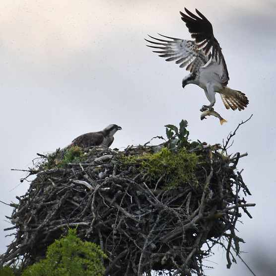 Osprey landing on a nest
