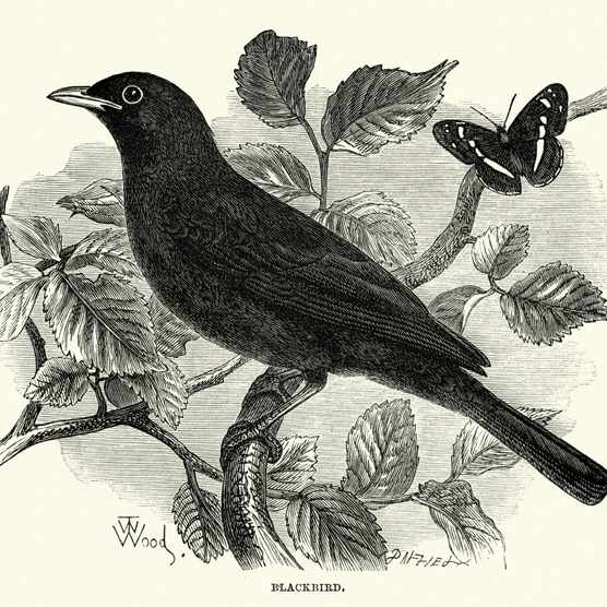 Vintage engraving of a Blackbird