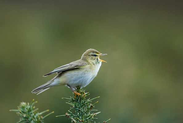 Willow Warbler, Phylloscopus trochilus, Northumberland spring