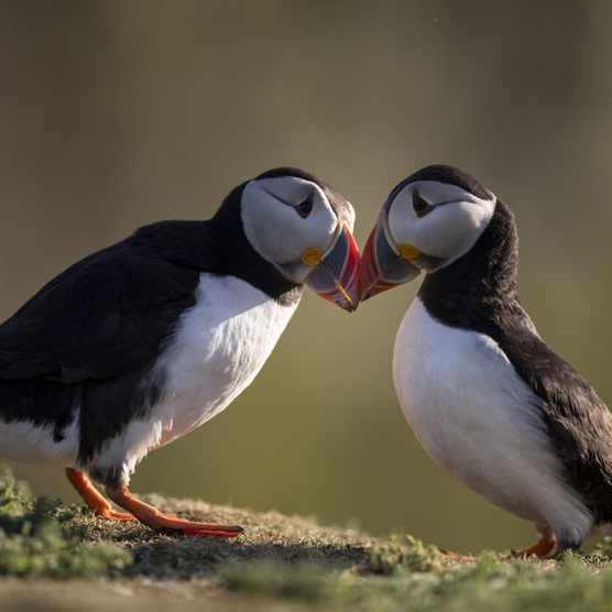 Puffins touching beaks