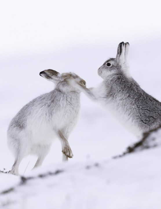 White mountain hare (lepus timidus) boxing.  These hares are native to the British Isles.  The hares in snow covered mountain cairngorms.