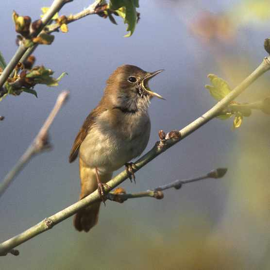 A nightingale singing in spring