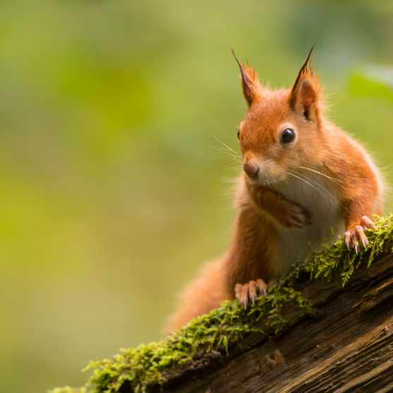 Red squirrel for episode 10 of season 5 of the BBC Countryfile Magazine podcast
