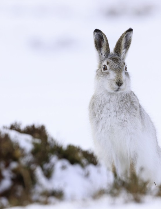 Mountain hare on snow covered mountains, Getty