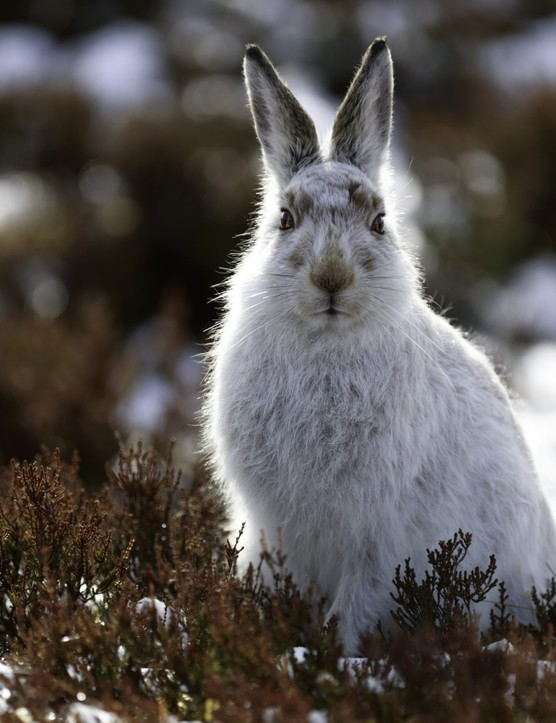 white wild mountain hare in the north of Scotland. Cute creatures, they have a white fur during winter to help them hide in snow and turn fur brown during summer to help hide in the brown heather.