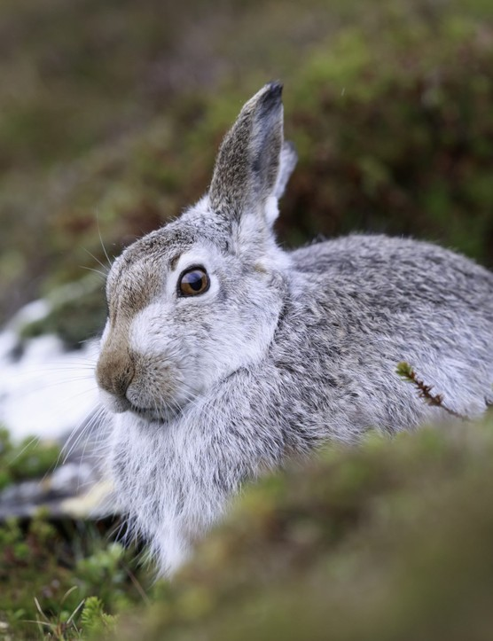 Mountain hares with their summer fur, sitting on heather and feeding on green heather on the Scottish mountain, Getty