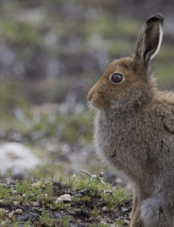 mountain hare on snow and heather running , sitting on a Scottish mountain