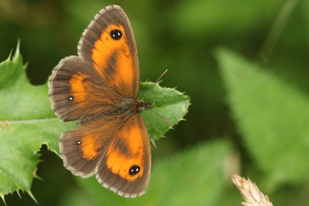 A pretty newly emerged Gatekeeper Butterfly (Pyronia tithonus) perching on a thistle leaf in a meadow.